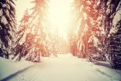 Foresta con le piste di sci di fondo al tramonto Immagini Stock