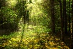 Foresta con luce Fotografia Stock Libera da Diritti