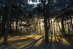 Foresta con lucidare chiaro posteriore attraverso Immagini Stock