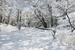 Foresta con neve Fotografia Stock