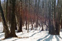 Foresta congelata Immagine Stock Libera da Diritti