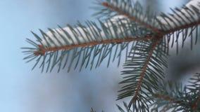 Foresta conifera nell'inverno stock footage