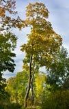 foresta d'autunno Fotografie Stock Libere da Diritti