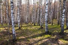 Foresta decidua della betulla con luce solare di sera Fotografia Stock Libera da Diritti