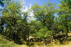 Foresta decidua della quercia Immagine Stock Libera da Diritti