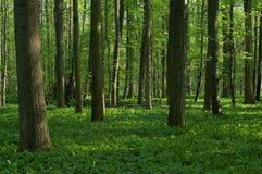 Foresta decidua della sorgente Immagine Stock Libera da Diritti
