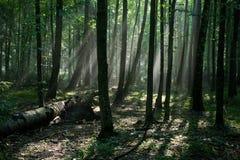 Foresta decidua entrante del hornbeam del raggio di sole immagini stock