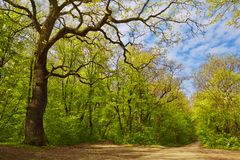 Foresta decidua in primavera fotografie stock