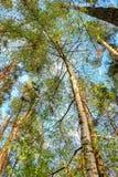 Foresta deciduo-conifera mista Immagini Stock Libere da Diritti