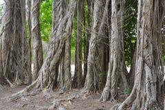 Foresta degli alberi di banyan Immagine Stock