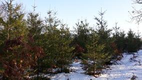 Foresta degli alberi di Christmass Fotografie Stock