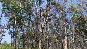 Foresta degli alberi di gomma Fotografia Stock