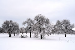 Foresta degli alberi di inverno Fotografia Stock