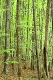Foresta degli alberi a foglie caduche Immagini Stock