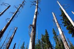 Foresta degli alberi guasti Immagine Stock Libera da Diritti