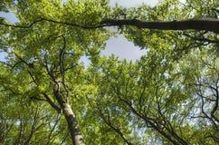 Foresta dei faggi Immagini Stock Libere da Diritti