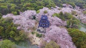 Foresta dei fiori di ciliegia stock footage