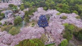 Foresta dei fiori di ciliegia video d archivio
