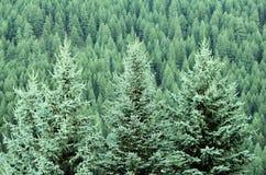 Foresta dei pini Fotografie Stock Libere da Diritti