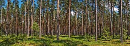 Foresta dei pini di estate Fotografia Stock Libera da Diritti