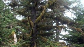 Foresta dei pini e dell'abete rosso nell'Alaska video d archivio