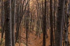 Foresta dei tronchi di alberi del faggio in autunno fotografie stock libere da diritti