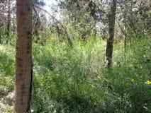 Foresta del ayin del ` di Rosh ha Immagini Stock
