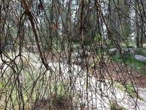 Foresta del ayin del ` di Rosh ha Fotografie Stock