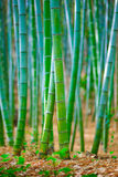 Foresta del bambù del Giappone Immagine Stock Libera da Diritti