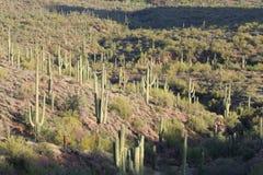 Foresta del cactus Fotografia Stock Libera da Diritti