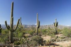 Foresta del cactus del Saguaro Fotografie Stock Libere da Diritti