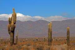 Foresta del cactus, parco nazionale di Cardones, Cachi, Argentina immagini stock libere da diritti
