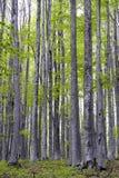 Foresta del carpino - 01 Fotografia Stock Libera da Diritti