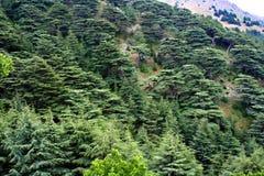 Foresta del cedro nel Libano Immagini Stock