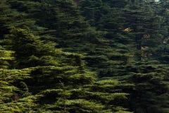 Foresta del cedro nel Libano Immagine Stock Libera da Diritti