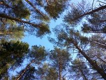 Foresta del cielo Fotografie Stock
