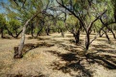 Foresta del deserto Fotografia Stock Libera da Diritti