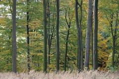 Foresta del faggio Fotografie Stock Libere da Diritti