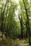 Foresta del faggio Immagini Stock