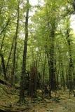 Foresta del faggio Immagine Stock