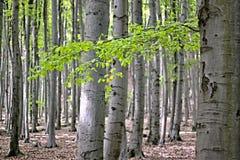 Foresta del faggio Fotografie Stock