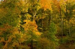 Foresta del faggio in autunno immagine stock libera da diritti
