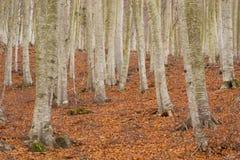 Foresta del faggio in autunno. Montseny. Fotografia Stock