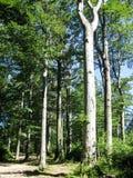 Foresta del faggio, Carpathians Immagine Stock Libera da Diritti