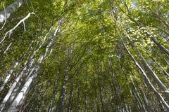 Foresta del faggio dell'Etna Fotografie Stock