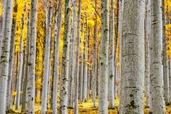 Foresta del faggio di autunno Immagini Stock