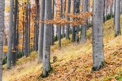 Foresta del faggio di autunno Immagine Stock