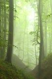 Foresta del faggio in estate dopo la tempesta Fotografia Stock