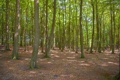Foresta del faggio nel parco nazionale di Jasmund vicino a Sassnitz immagini stock libere da diritti