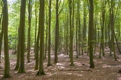 Foresta del faggio nel parco nazionale di Jasmund vicino a Sassnitz immagine stock